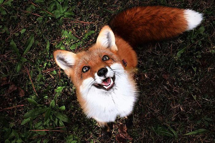 Szczepionka do zwalczania wścieklizny u lisów wolno żyjących.